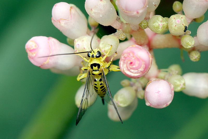Yellow Ichneumon Wasp, Xanthopimpla sp