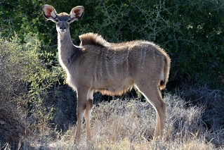 Kudu in Sanbona