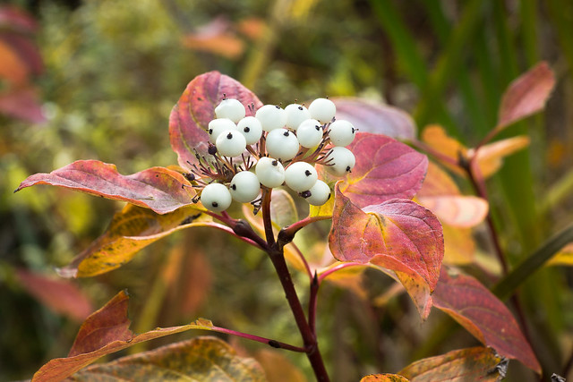 White Berries, Autumn, Fall Colors, Berries