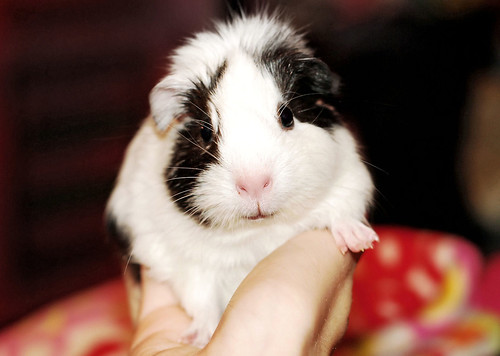 Introducing... NEW PIGGIE! Greta Belzebuba Gorgoroth Burzum! by pyza*