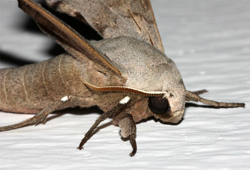 Neopolyptychus compar