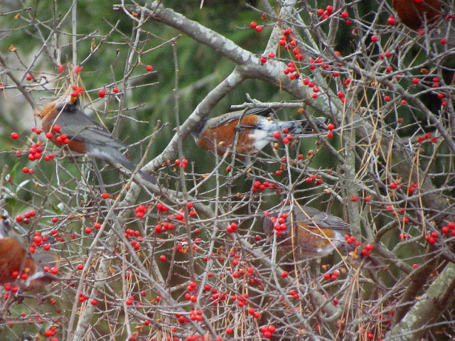 Robins on winterberry1 12:27:13