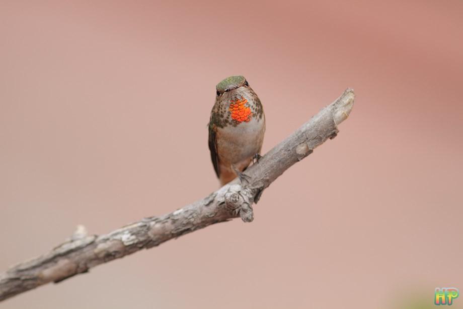 Allens Hummingbird 012414-3