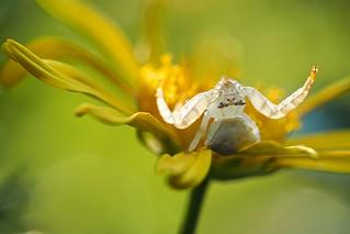 Sunbaking spider
