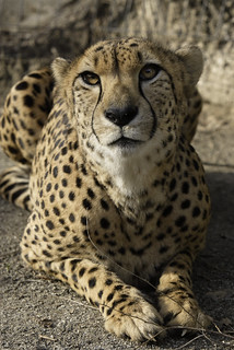 Smithsonian's National Zoo Euthanized Male Cheetah