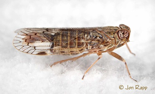 home bug insect missouri planthopper melanoliarus
