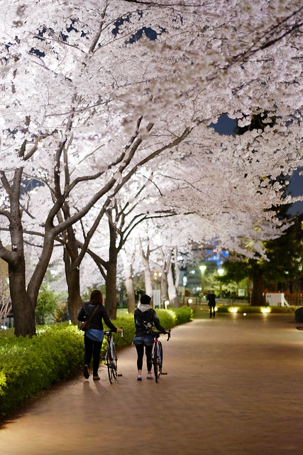 Sakura with bicycle