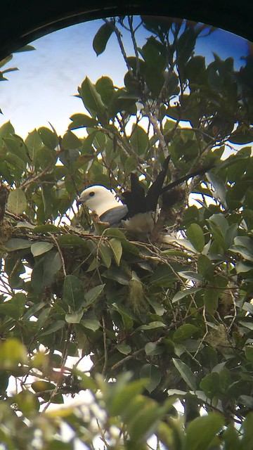 Swallow-tailed Kite making a nest