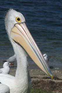 Australian Pelican - Portrait