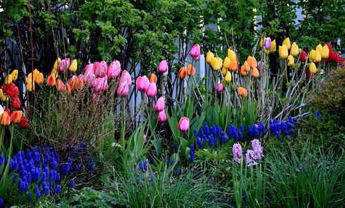 placentia newfoundland flower flowers garden tulip