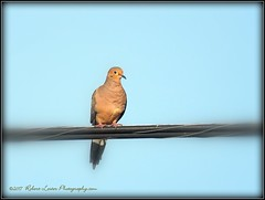 2017-03-27_P3270014_Mourning Dove,Clwtr,fl