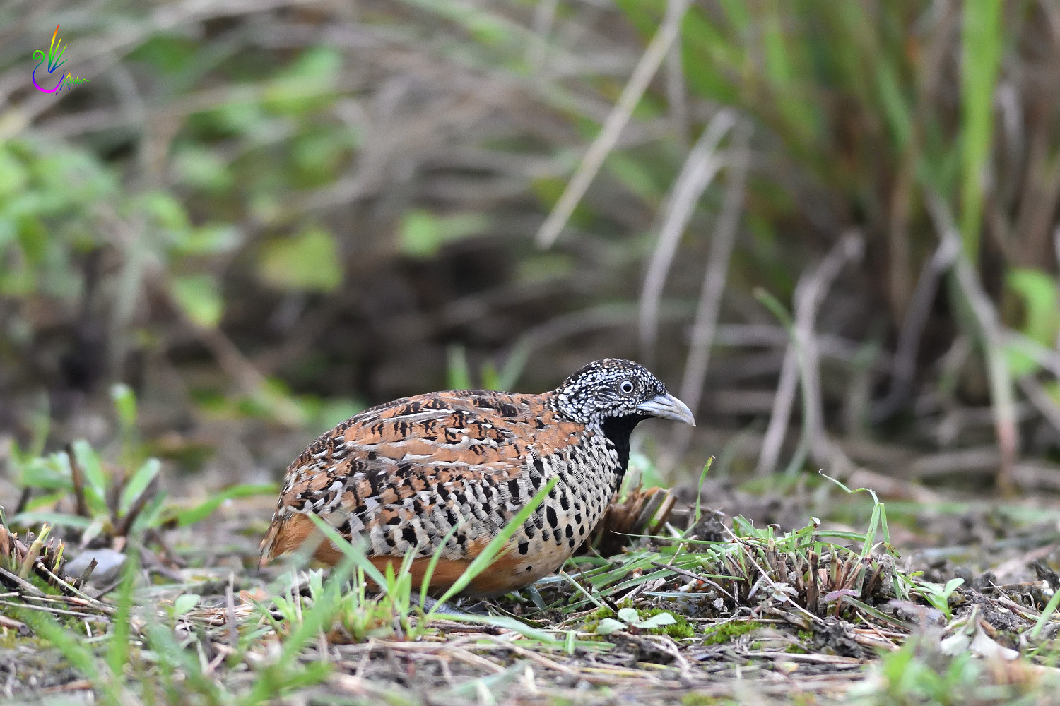 Barred_Buttonquail_2065