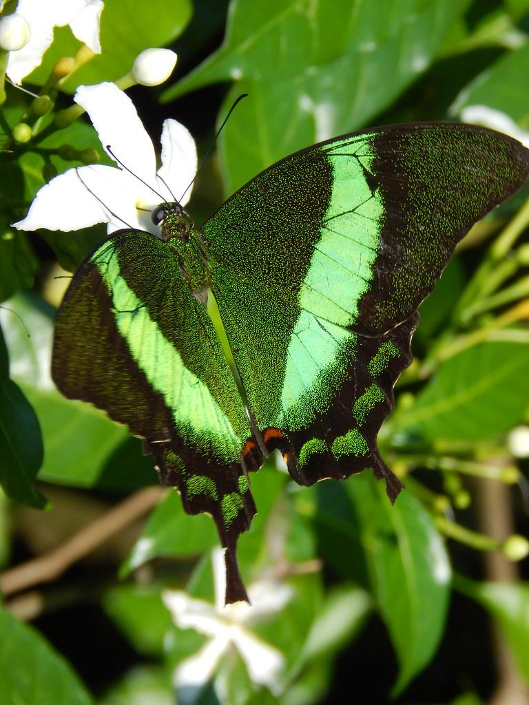 Papilio (palinurus) daedalus (swift peacock); Sentosa Butterfly Garden, Sentosa Island, Singapore