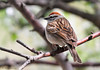 Chipping Sparrow by acadia_breeze4130 (unable to catch up!)