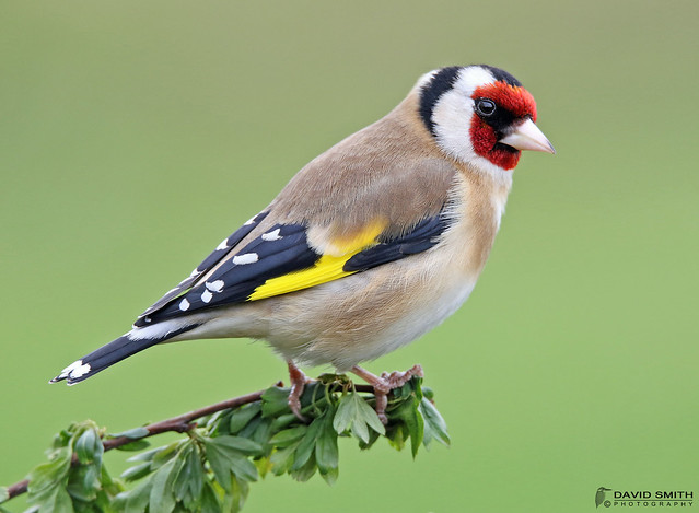 DSP01184 - Goldfinch Carduelis, Canon EOS 7D MARK II, Sigma 150-600mm f/5-6.3 DG OS HSM | S