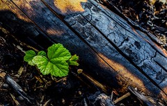 """Regrowth after the Fort McMurray wildfire """"The Beast"""""""