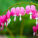 bleeding heart by Vicki Maher Thank you for 200,000 views!