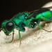 Cuckoo Wasp by ProDigi