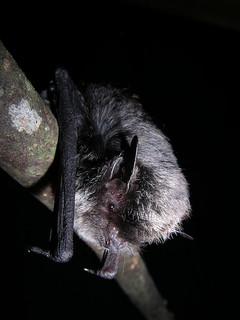 寬吻鼠耳蝠是台灣的蝙蝠中體型最小的種類。(圖片來源:雪霸國家公園)