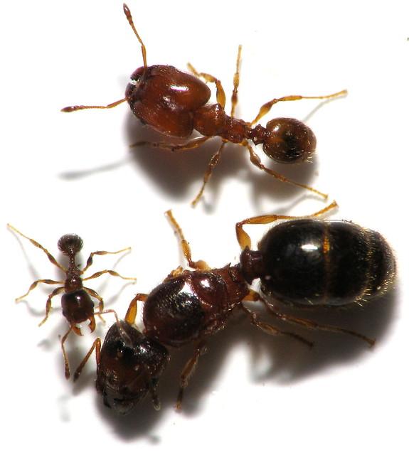 Queen Ant Actual Size Queen Ants Size