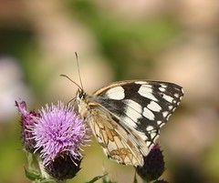Marbled White Butterfly,Rutland. by davidearlgray
