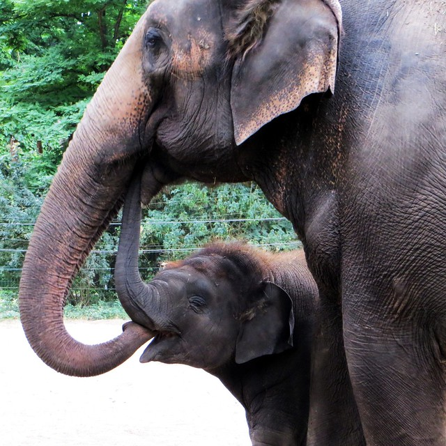 elephant-kiss