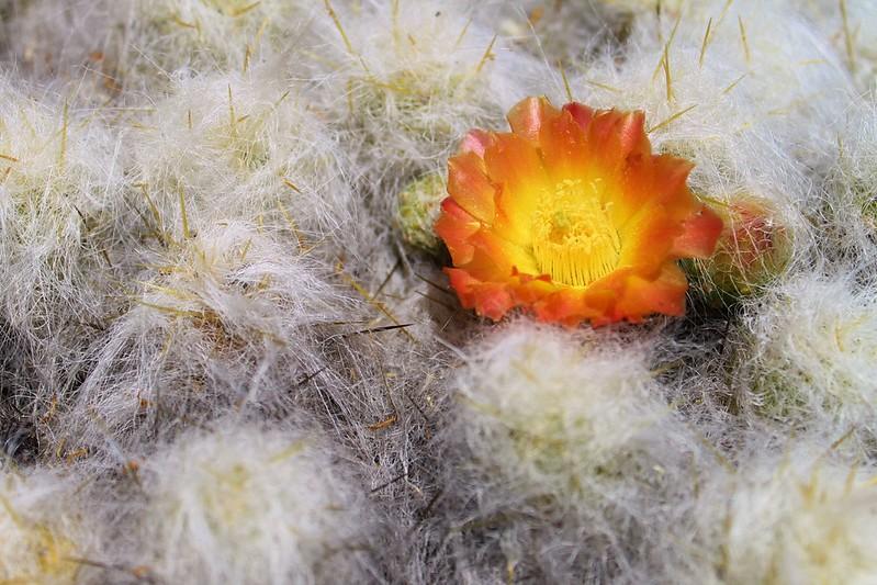 Cactus flower in the Cordillera Huayhuash