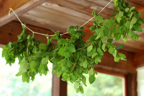 Drying fresh lemon balm by Eve Fox, The Garden of Eating blog, copyright 2013