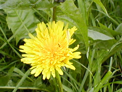 dandelion, flower, yellow, plant, sow thistles, flatweed, herb, wildflower, flora, produce,
