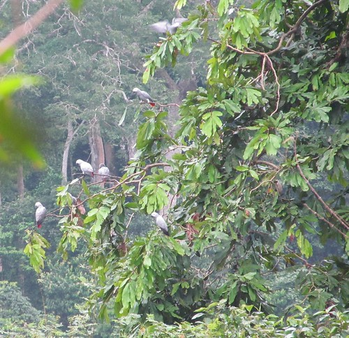 parrots in Gilbertodendron tree
