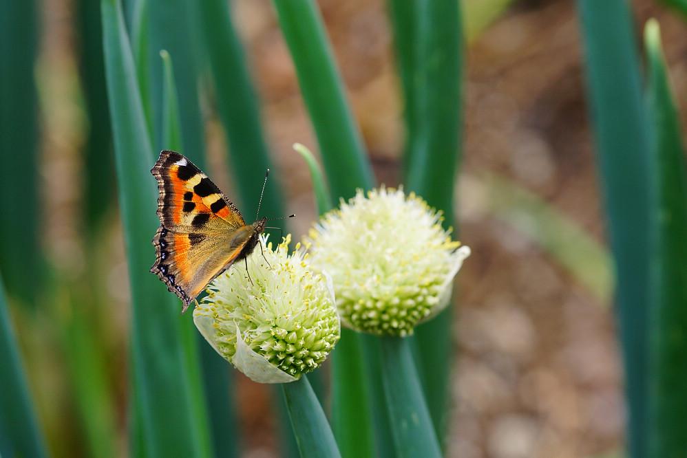 南亞蛺蝶 Aglais kaschmirensis-3
