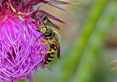 Sweat Bee (Halictus scabiosae)