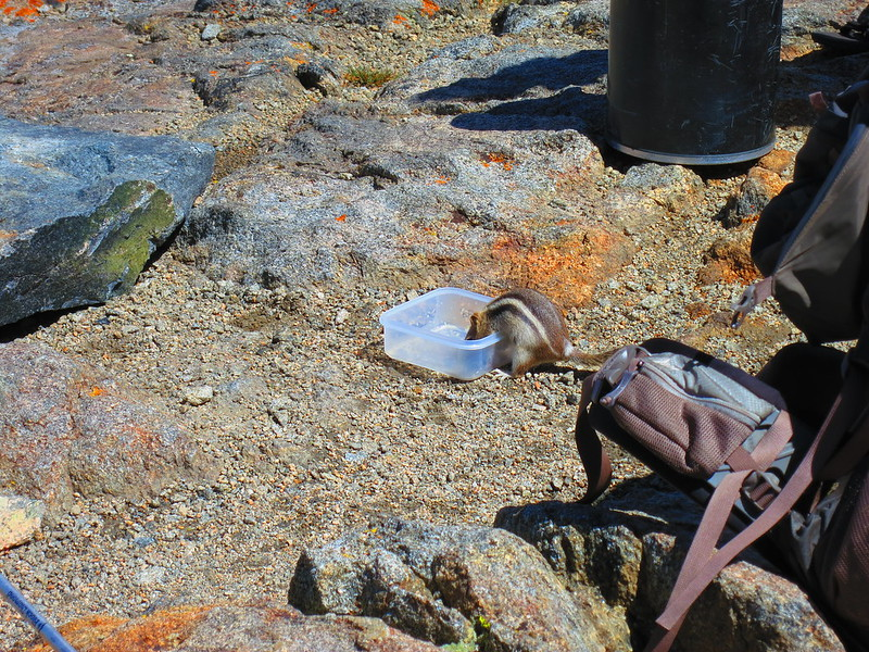 chipmunk cleaning tupperware on pinchot pass