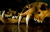 1998. India pench tiger skull -  Joanna Van Gruisen/EIA