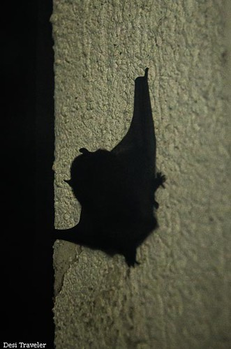 The Dark Knight Rises Indian Bat with wings spread
