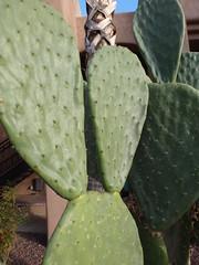barbary fig(0.0), echinopsis pachanoi(0.0), fruit(0.0), food(0.0), nopal(0.0), leaf(1.0), plant(1.0), green(1.0), produce(1.0), opuntia(1.0), caryophyllales(1.0),