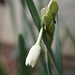 First Paperwhites 2013 (Narcissus papyraceus) - 10