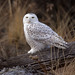 Snowy Owl by Chris.Hatch