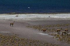 Vicuña, Culpeo (Andean Fox) and a Gull