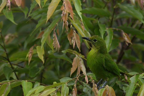 Female Leafbird