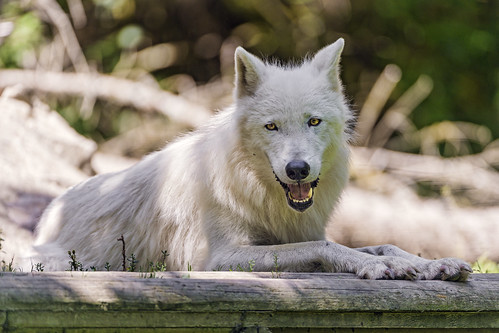Resting polar wolf by Tambako the Jaguar