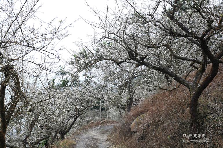 台南私藏景點--梅嶺梅花季  2013 (22)