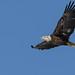 Bald Eagle_42464.jpg