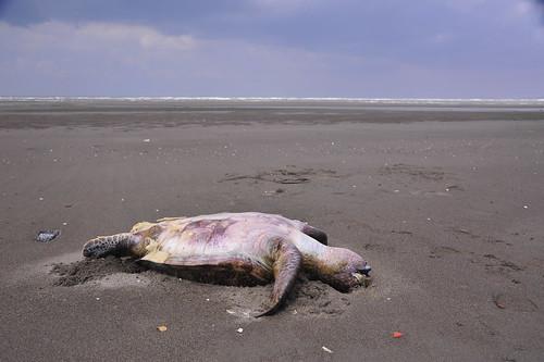 誤食塑膠袋而亡的綠蠵龜,就這樣靜靜的躺在沙灘上再也醒不過來。@苗栗後龍海岸