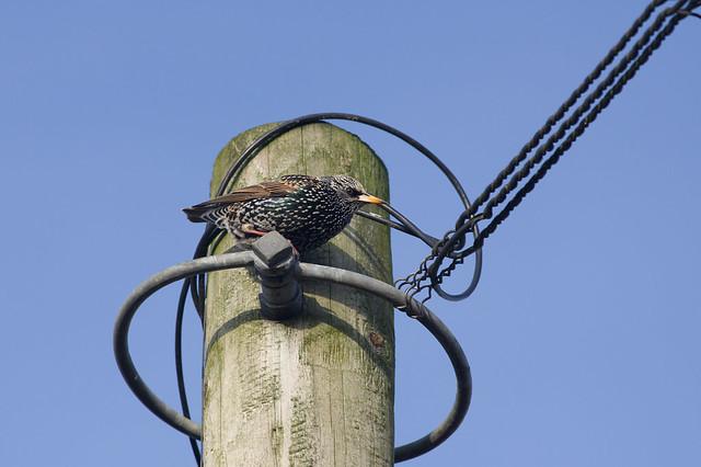 47: Starling