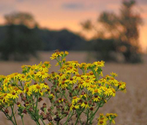 sunset england beautiful exploring wildflower yellowflowers nottinghamshire blurredtrees robinhoodway ilobsterit