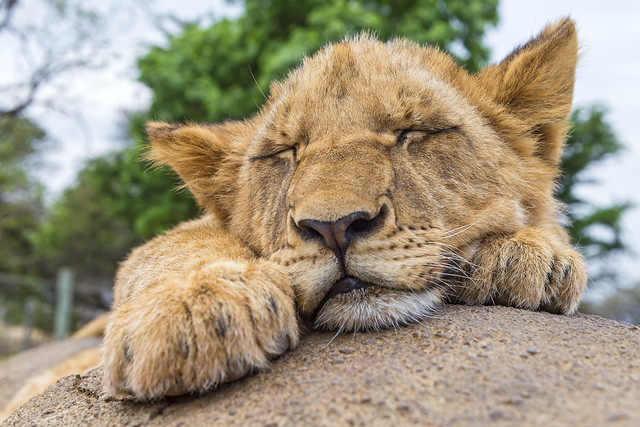 Portrait of a sleeping cub