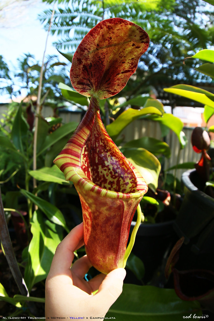... nepenthes c... Nepenthes Lowii