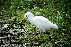 animal, nature, green, fauna, great egret, pelecaniformes, beak, bird, wildlife,