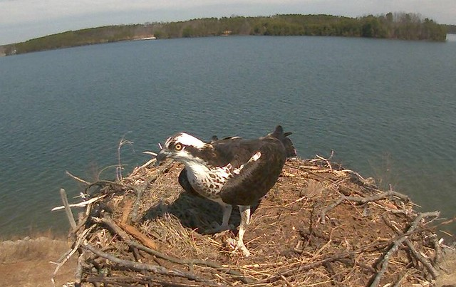 The osprey has returned to nest at Smith Mountain Lake State Park